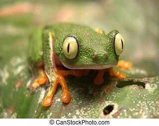 Leaf Frog (Hylomantis hulli)