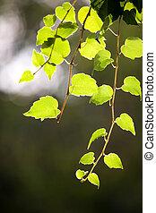 leaf grape vines