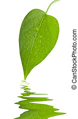 Leaf green and fresh isolation - Leaf green and fresh with...