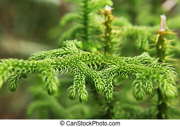 Leaf green of the pines