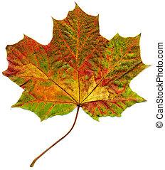 leaf., isolé, érable, automne