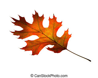 leaf., isolated., automne, chêne