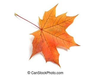 Isolated autumn leaf