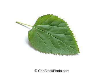 Leaf - Isolated green leaf