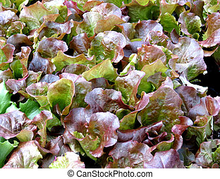 Leaf Lettuce - Closeup of leaf lettuce, called Red Sails,...