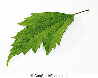 Leaf Malva sylvestris