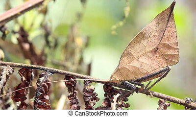 Leaf mimic katydid - In the rainforest understory in the...