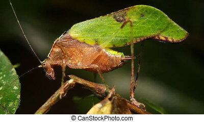 Leaf mimic katydid - Pycnopalpa cf. bicordata, Resembles a...