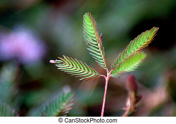 Leaf Mimosa-Pudica flower, a kind of wild flowers which, when touched its leaves to furl