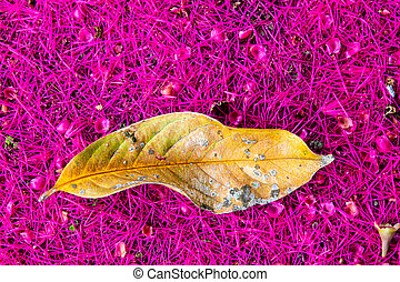Leaf of a Malay rose apple tree (Syzygium malaccense ) over a  beautiful pink carpet of its flowers