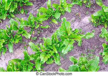 Leaf of beetroot. Organic green red young beat leaves. beetroot plant growing on soil background. growing plants in an organic farm