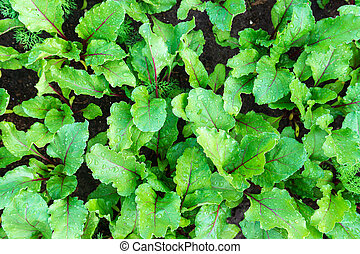 Leaf of beetroot texture. Organic green red young beat leaves. beetroot plant growing on soil background. growing plants in an organic farm