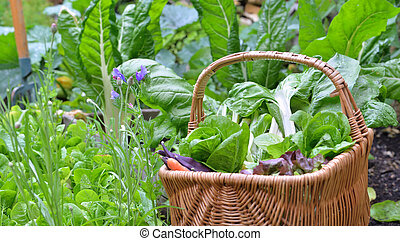 leaf of chard and lettuce in a wicker basket put on a vegetable garden