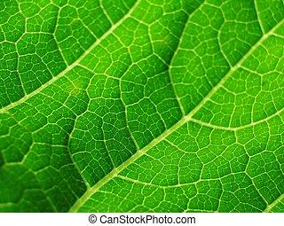 leaf of cymbling in locking light