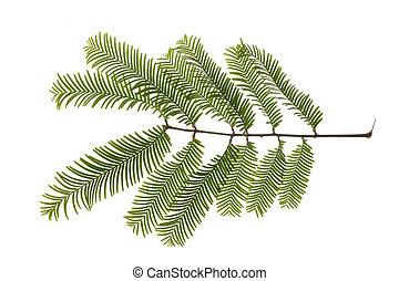 giant redwood tree - leaf of giant redwood tree