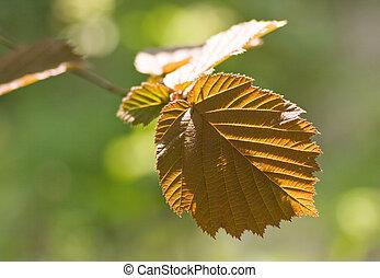Leaf of hazeltree in spring