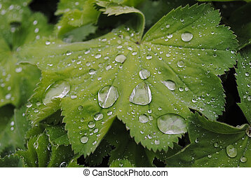 Leaf of Ladys mantle (alchemilla vulgaris) with water drops