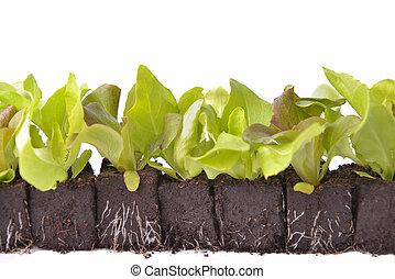 leaf of lettuce seedlings in dirt on white background