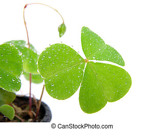 Oxalis - leaf of Oxalis with water droplets, isolated on ...