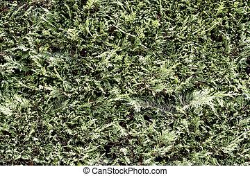 Leaf of pine tree background.