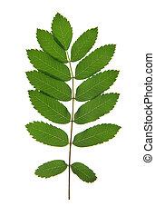 Leaf of rowan tree isolated on white