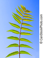 Pinnately compound leaves of Staghorn sumac tree on the background of a blue sky. Latin name: Rhus typhina