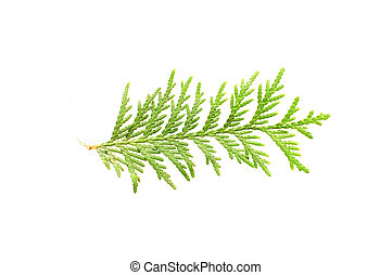 Leaf of thuja isolated over white background