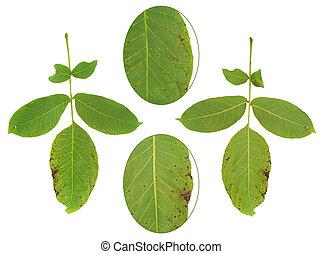 Leaf of walnut tree attacked by mite, Aceria erineus