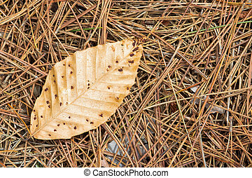A lone brown leaf on pine needles.