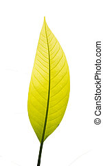 leaf on white background , Clipping - path