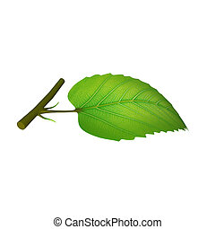 A leaf is an organ of a vascular plant and is the principal lateral appendage of the stem.[1] The leaves and stem together form the shoot.[2] Foliage is a mass noun that refers to leaves collectively.[3][4] Typically a leaf is a thin, dorsiventrally flattened organ, borne above ground and ...