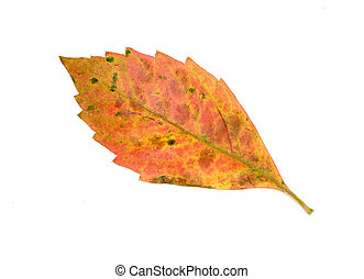 Leaf - Photo of a Leaf on a White Background - Autumn / Fall
