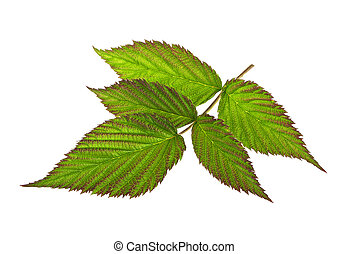 Leaf raspberry isolated on a white background