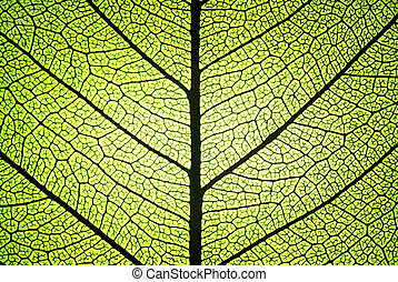 leaf ribs and veins - detail of a leaf in backlit showing...