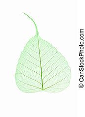 leaf vein isolated - green bodhi leaf vein on white ...