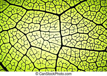 leaf veins - detail of a leaf in backlit showing veins