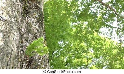 Leaf which grew from a trunk - Dawn redwood leaf which grew...