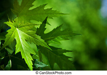 leafage of maple on a blurry background