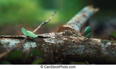 Leafcutter Ants, Close Up, Costa Rica (180fps Slow Motion)