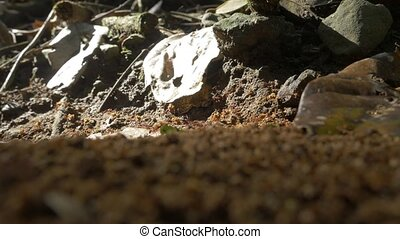 Leafcutter Ants, Costa Rica - Native, Log, straight out of...