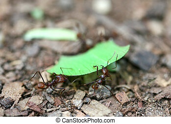 Leafcutter Ants - Leafcutter ants carry a piece of leaf back...