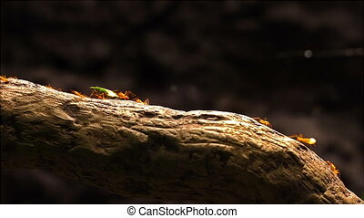Leafcutter ants marching across a tree branch.