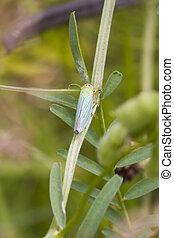 leafhopper, (, cicadella, viridis, )