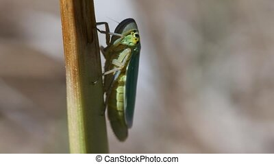 Leafhopper - Cicadellidae on a blade of grass in a macro...