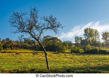 leafless apple tree in autumn orchard. lovely scenery on...