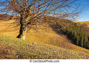 leafless beech tree on hill. brown foliage on the ground....