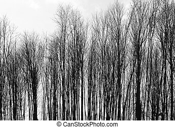 abstract background with leafless trees in a row in front of cloudy sky at winter time