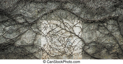 Old wall covered with leafless vine in early spring