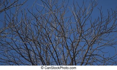 Leafless walnut tree branches with shadows moving over them