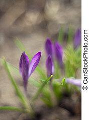 leafs, 春, ぼんやりさせられた, 緑の背景, クロッカス, snowdrop